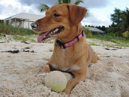 Anguilla Animal Rescue Foundation, pet rescue, puppy