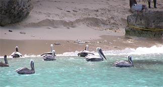Pelicans at Little Bay