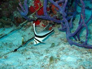 Anguilla diving, Dog Island, jack knife fish, divemaster, Douglas Carty