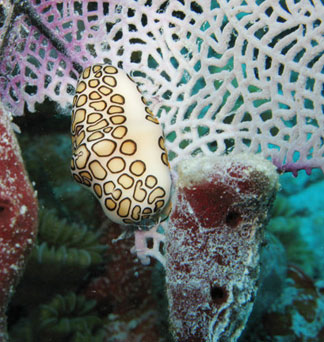 Anguilla diving, Dog Island, flamingo tongue, divemaster, Douglas Carty