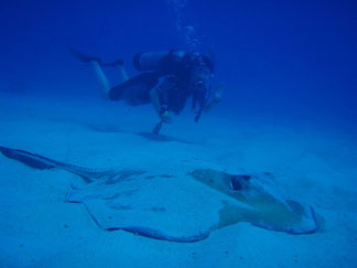Anguilla diving, Anguillian divers, stingray