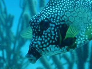 Anguilla diving, trunk fish, wreck dive