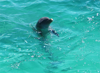 dolphin anguilla