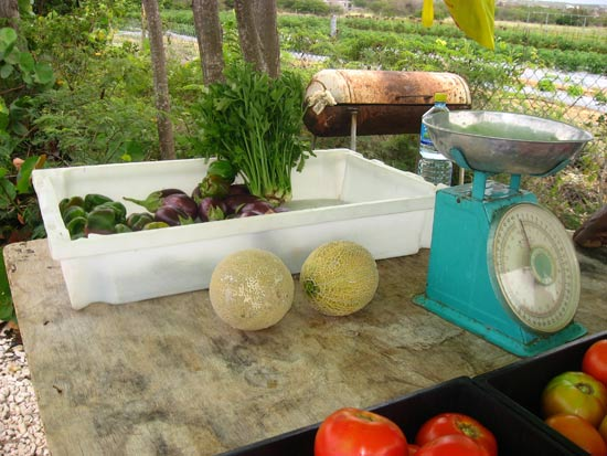 anguilla tomatoes organic vegetables
