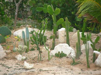 caribbean cacti