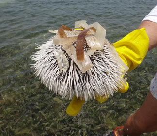 anguilla sea urchin