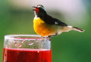 Anguilla bird