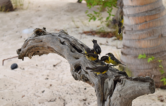 prickly pears friendly bananaquits