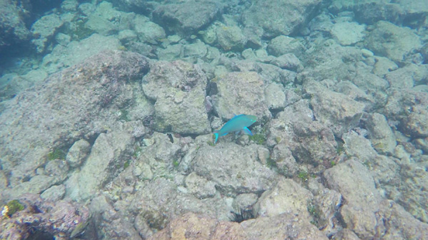 parrot fish spotted at little bay