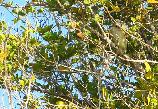 birdwatching and spotting the caribbean elaenia