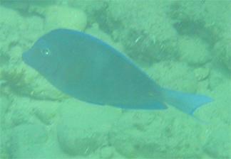 Fish Anguilla Snorkeling