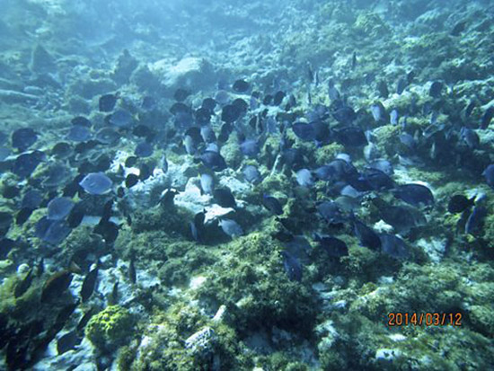 blue tangs in anguilla's shoal bay
