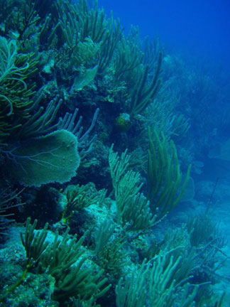 Anguilla diving, Anguillian divers, Frenchman's Reef, dive site