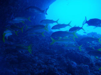 Anguilla diving, Frenchman's Reef, dive site, fish, yellowtail snapper