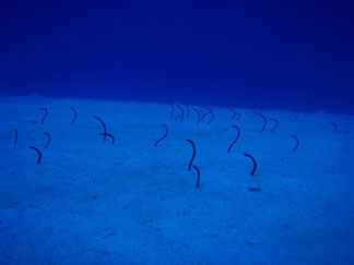 Anguilla diving, Dougie Carty, Oosterdiep wreck, garden eels