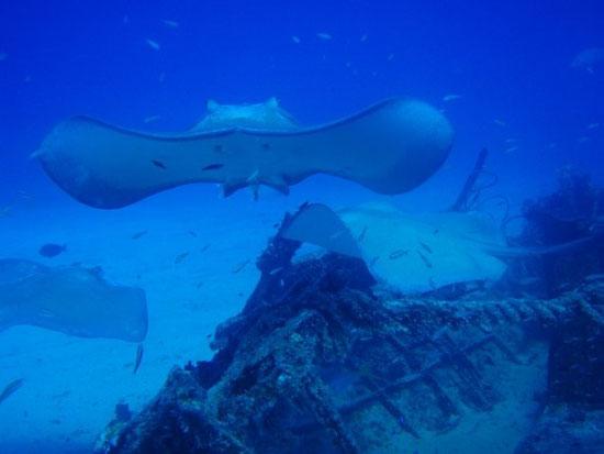 Anguilla diving, stingrays