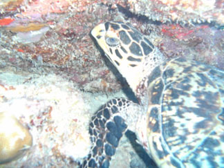 Anguilla diving, Oosterdiep, turtle