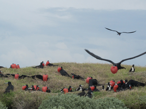 anguilla dog island frigate birds