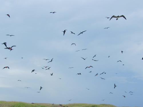 birds of war in anguilla