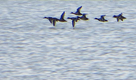 ducks flying over cauls bottom pond