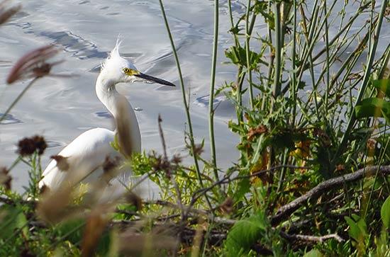 snowy egret in anguilla