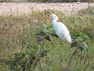 egret outside of east end salt pond