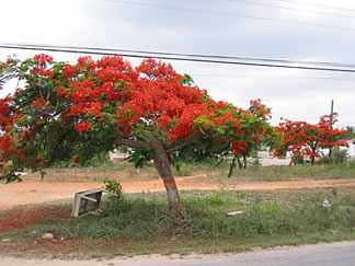 anguilla flamboyant tree