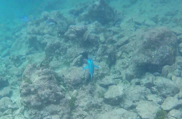 following a parrot fish at little bay