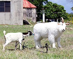 anguilla goat billy