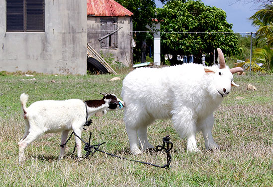 anguilla goats playing