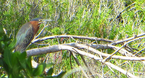 the green heron in anguilla