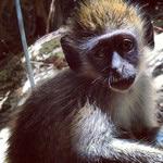 monkey at dune preserve