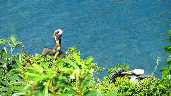 pelicans in tortola