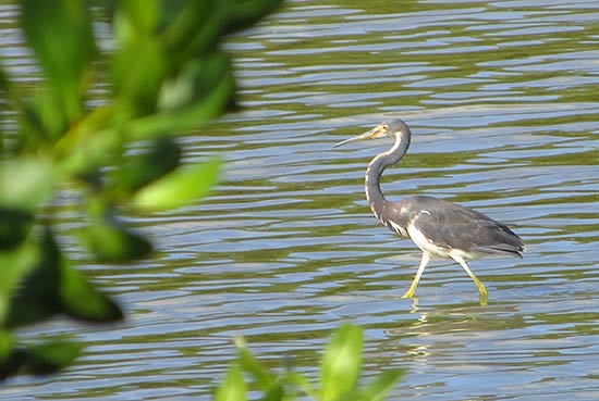 tri-colored heron in anguilla