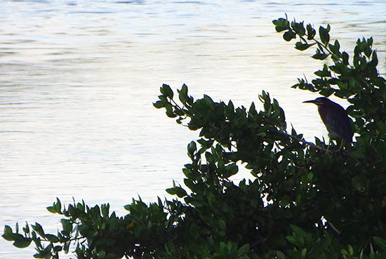 herons in anguilla