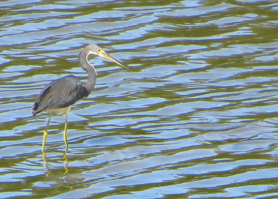 more heron in anguilla