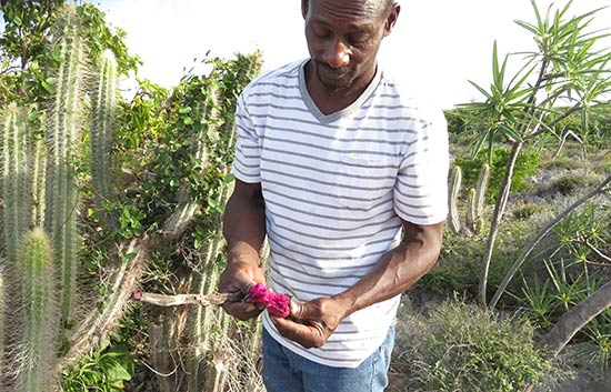 john with the cacti fruits in anguilla