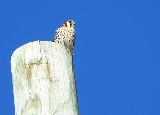 the american kestral or killy killy in anguilla