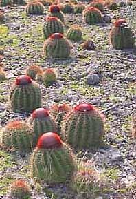 anguilla cactus