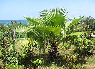 anguilla millys inn gardens