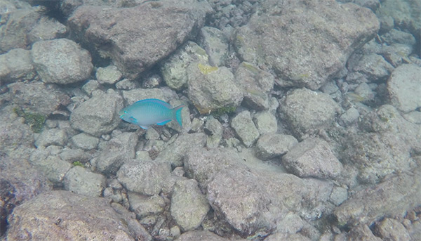 parrot fish in litle bay anguilla