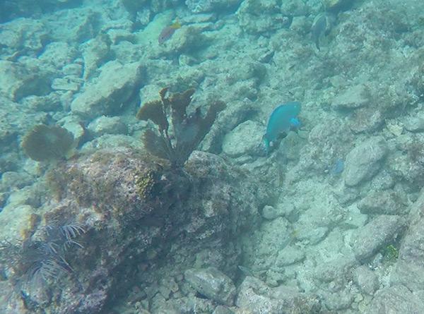 parrot fish anguilla snorkeling