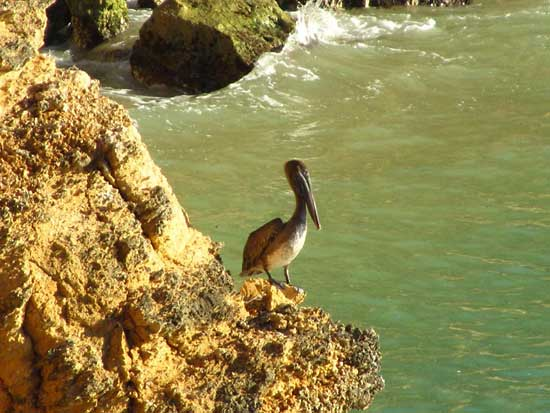 pelican roosting in anguilla