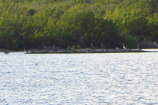 pelicans roosting in cauls pond
