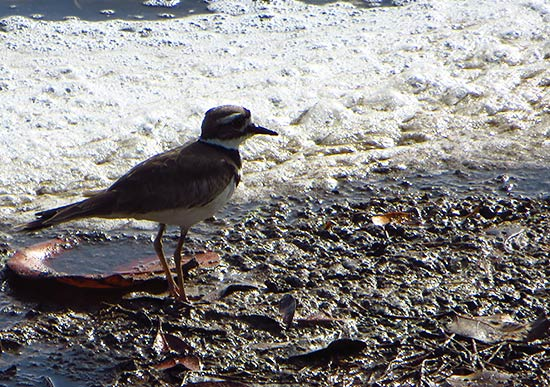 killdeer plover