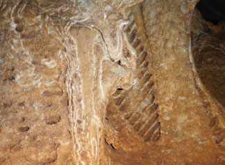 Amblyrihiza inundata leg bone fossil close up