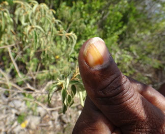 balsam bush used as natural nailpolish