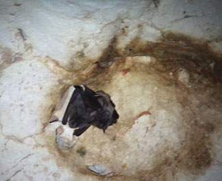 bats inside cavannagh cave