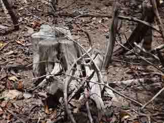 old hardwood tree stumps near katouche bay anguilla