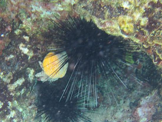 red eye sponge crab at little bay